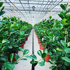An organized jungle of Ficus 'Microcarpa