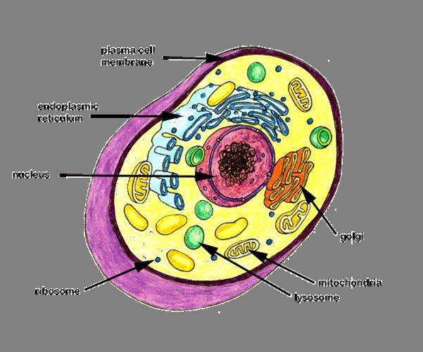 vacuole animal cell - photo #12