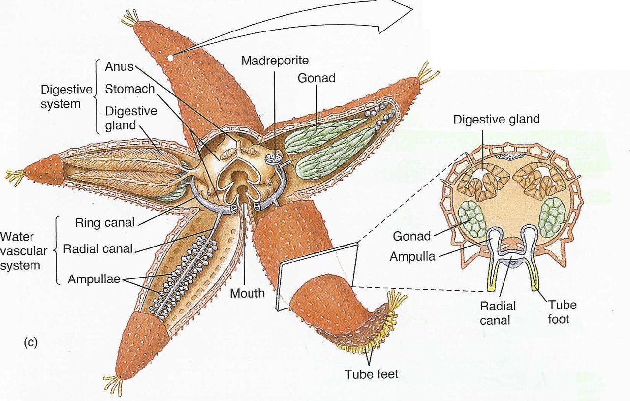 Starfish anatomy diagram
