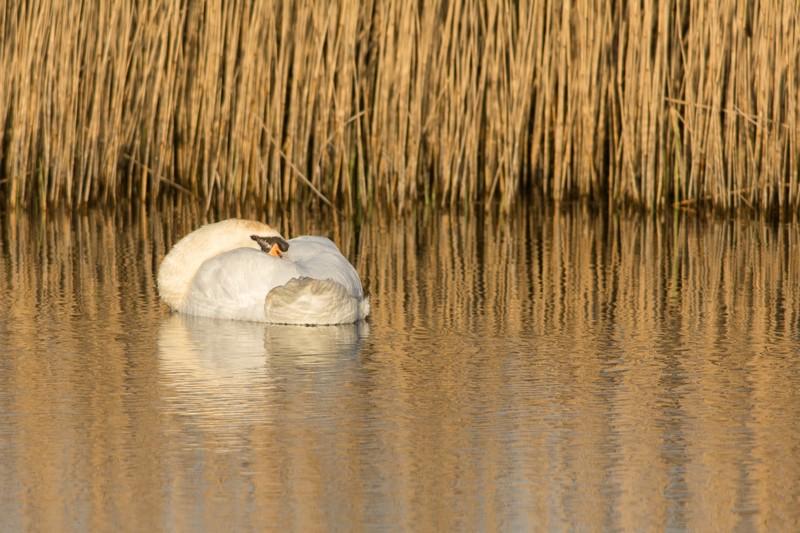 Cygne endormi dans le marais du Hâble d'Ault