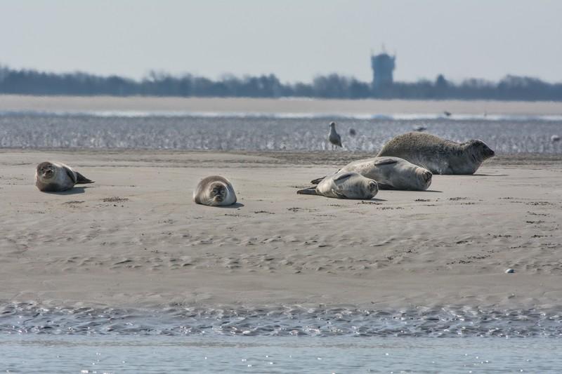 Berck, les phoques sur le banc de sable