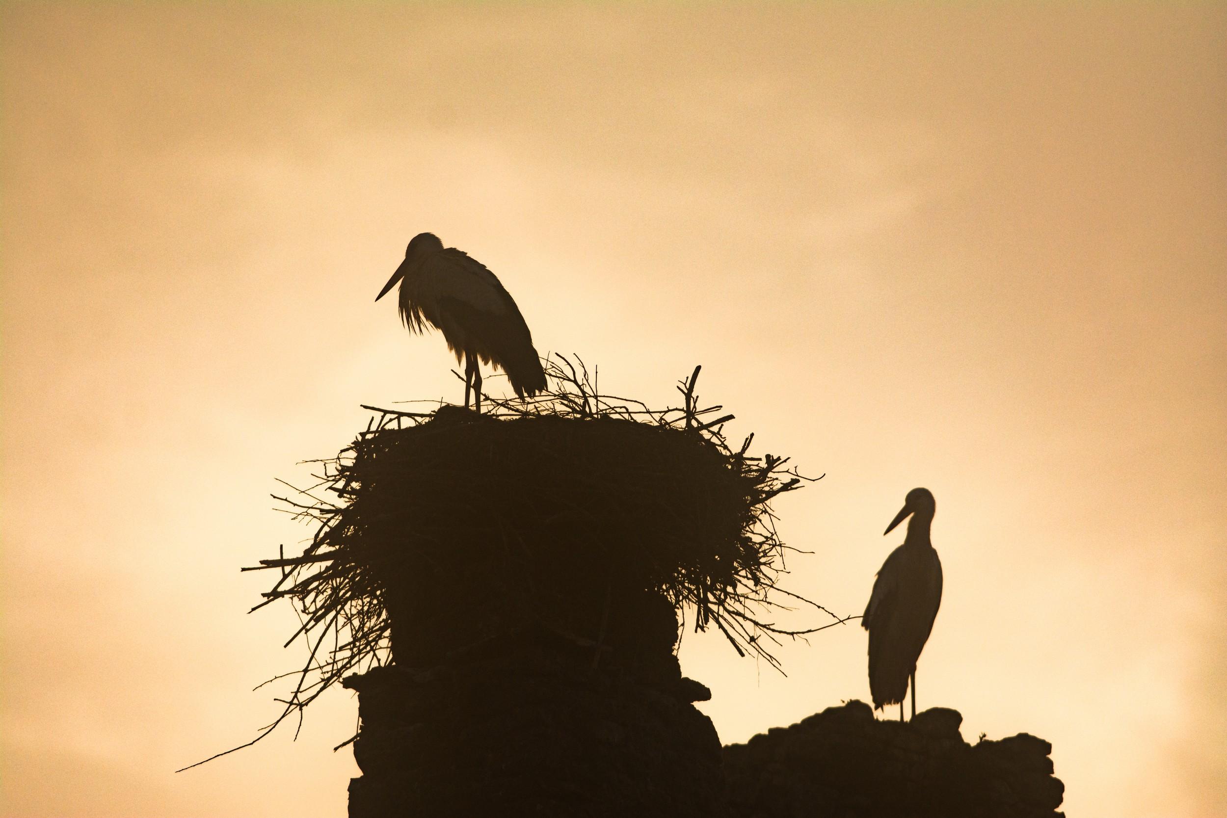 Cigognes au lever du jour