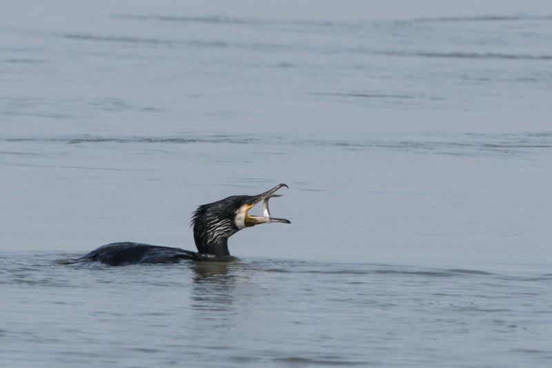 cormoran avec poisson dans le bec