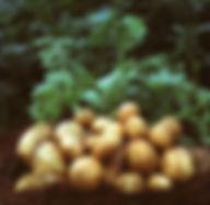 kartupelis-1024x1012.jpg