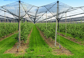 apple orchard with nets to protect again