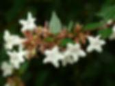 Abelia, Grandiflora, Glossy Abelia