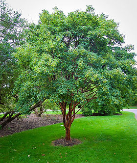 Acer, Griseum, Paperbark Maple