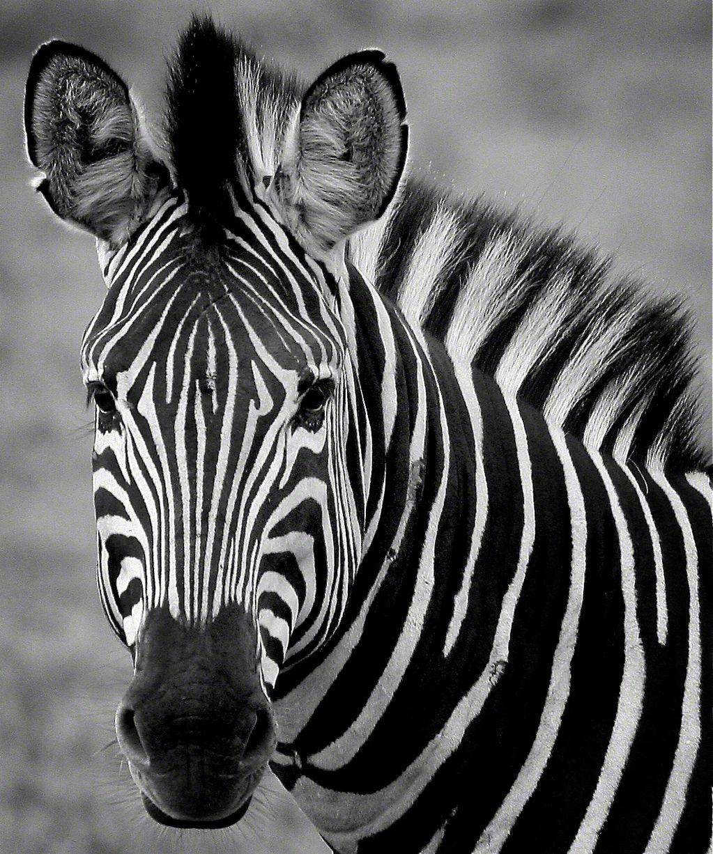 Zebra face profile - photo#1