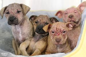 Demodex-Puppies_AGoldPhoto-Pet-Photograp