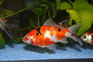 Carpe koi italia koi lazio shubunkin e pesci rossi for Dove comprare pesci rossi