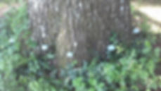 Mauget capsules in Oak.JPG