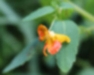 JCCB Jewelweed FLower.jpg