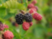 JCCB Blackberry.jpg