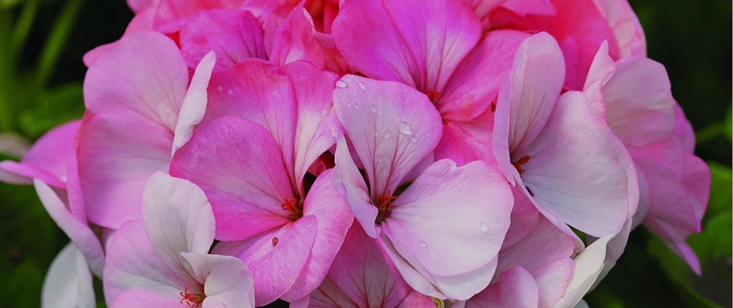 Hanging Flower Baskets Spokane : Haase s greenhouse spokane