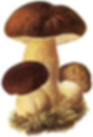 Steinpilz.jpg