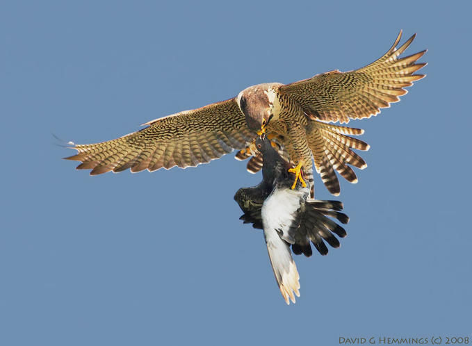 Wix.com Peregrine Falcon Inquiry created by strevellyan ...