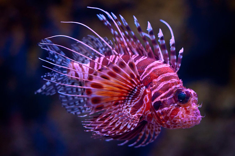 Fish mania saltwater and freshwater tropical fish in for Purple freshwater fish