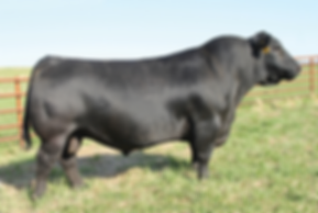 SAV Resource 1441, Schaff Angus Valley, Red Angus Cattle, Red Angus, Red Angus Bulls, Red Angus cattle, Wyoming Red Angus