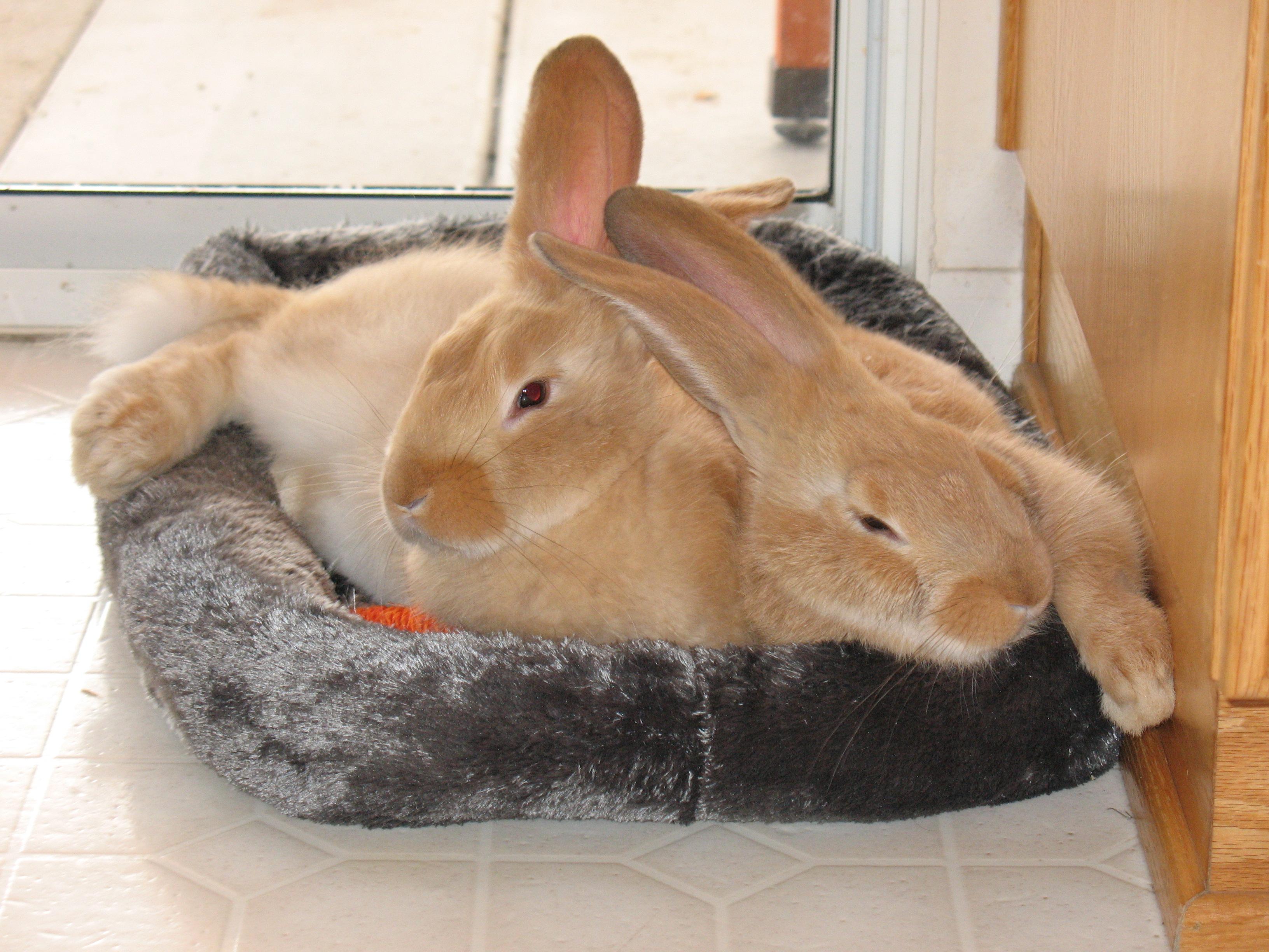 F Giant Rabbit Flemish Giant Rabbit