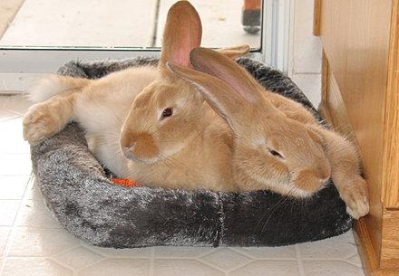 Double l rabbit ranch flemish giant rabbit flemish giants california