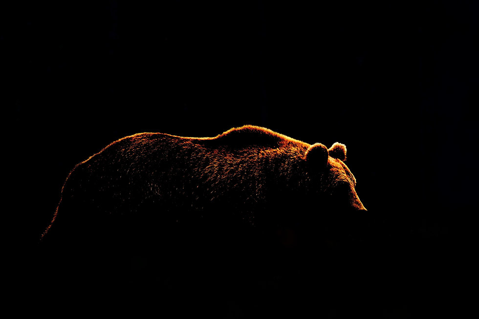 Bear body contour isolated on black background. Side view of brown bear. .jpg