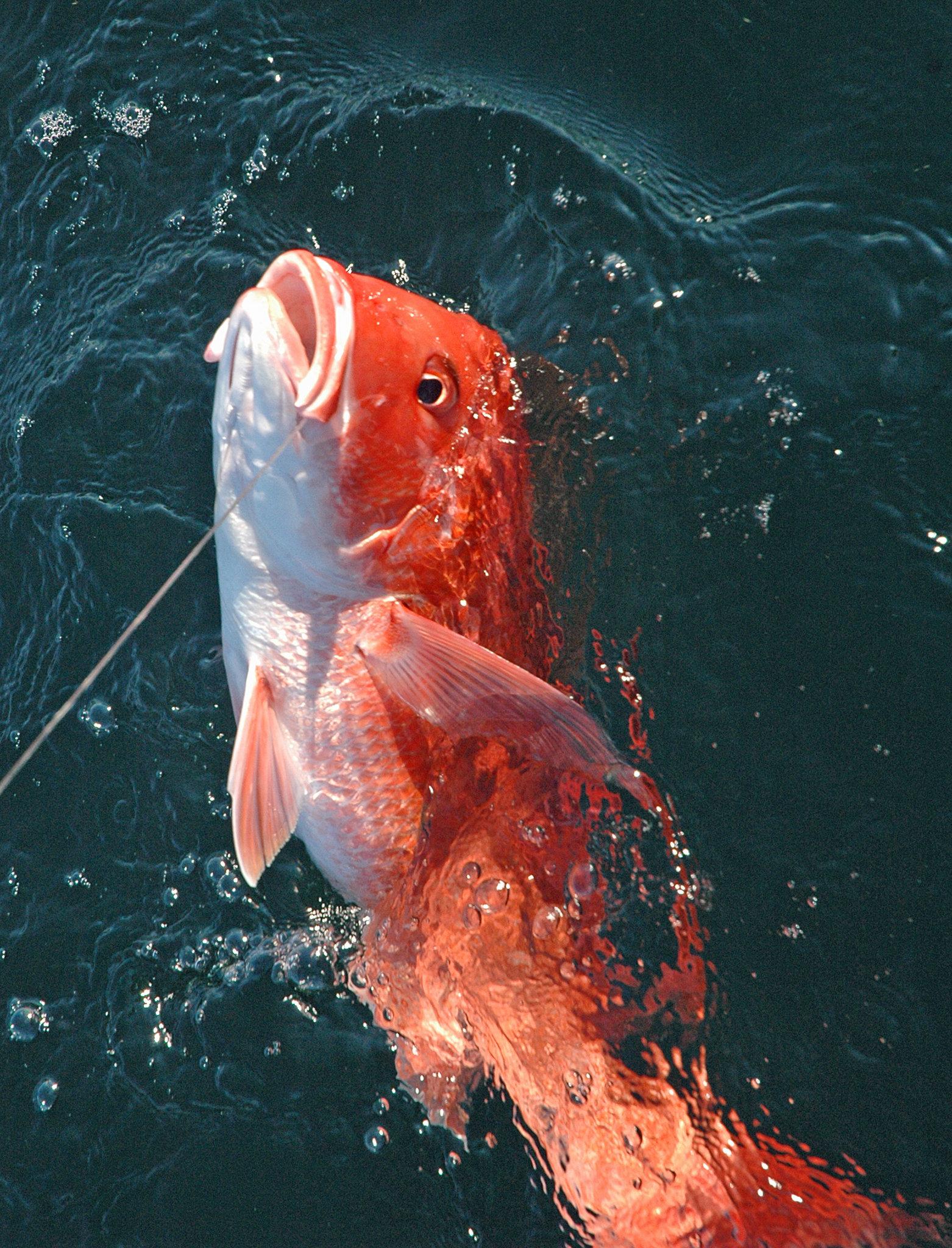 The Red Snapper, A Destin Icon | Destin Fishing Company Destin, FL ...