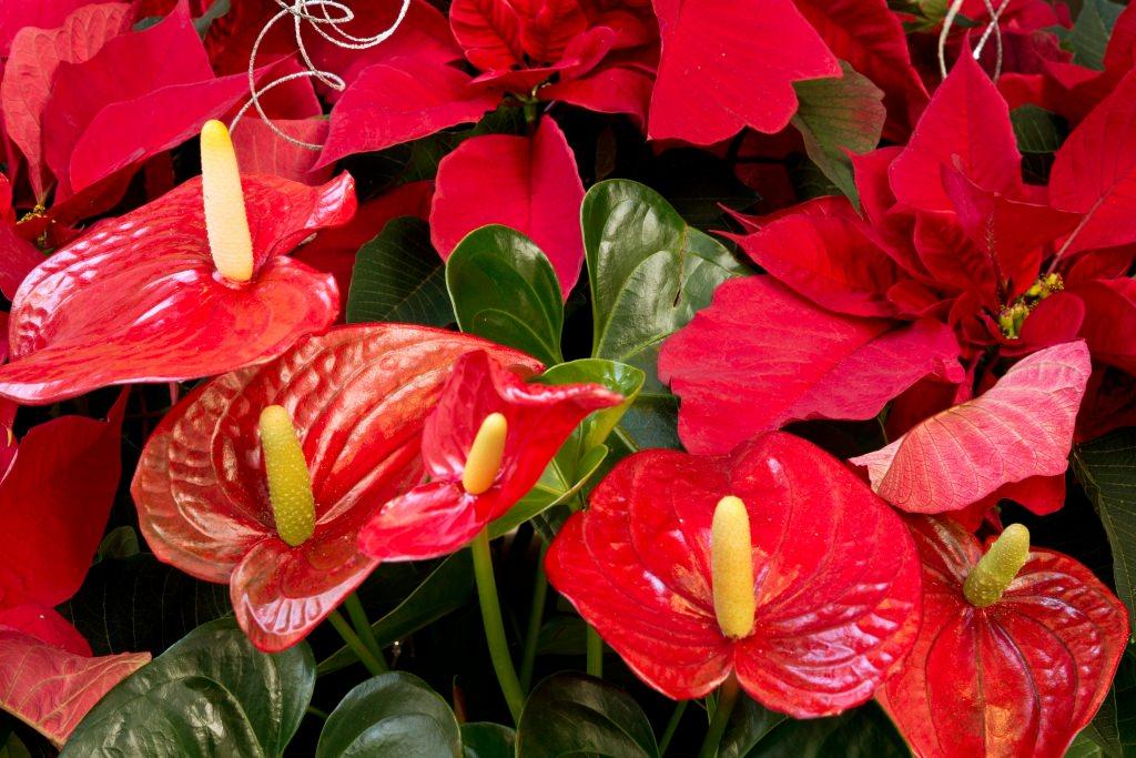 Anturio for Plantas de interior exoticas
