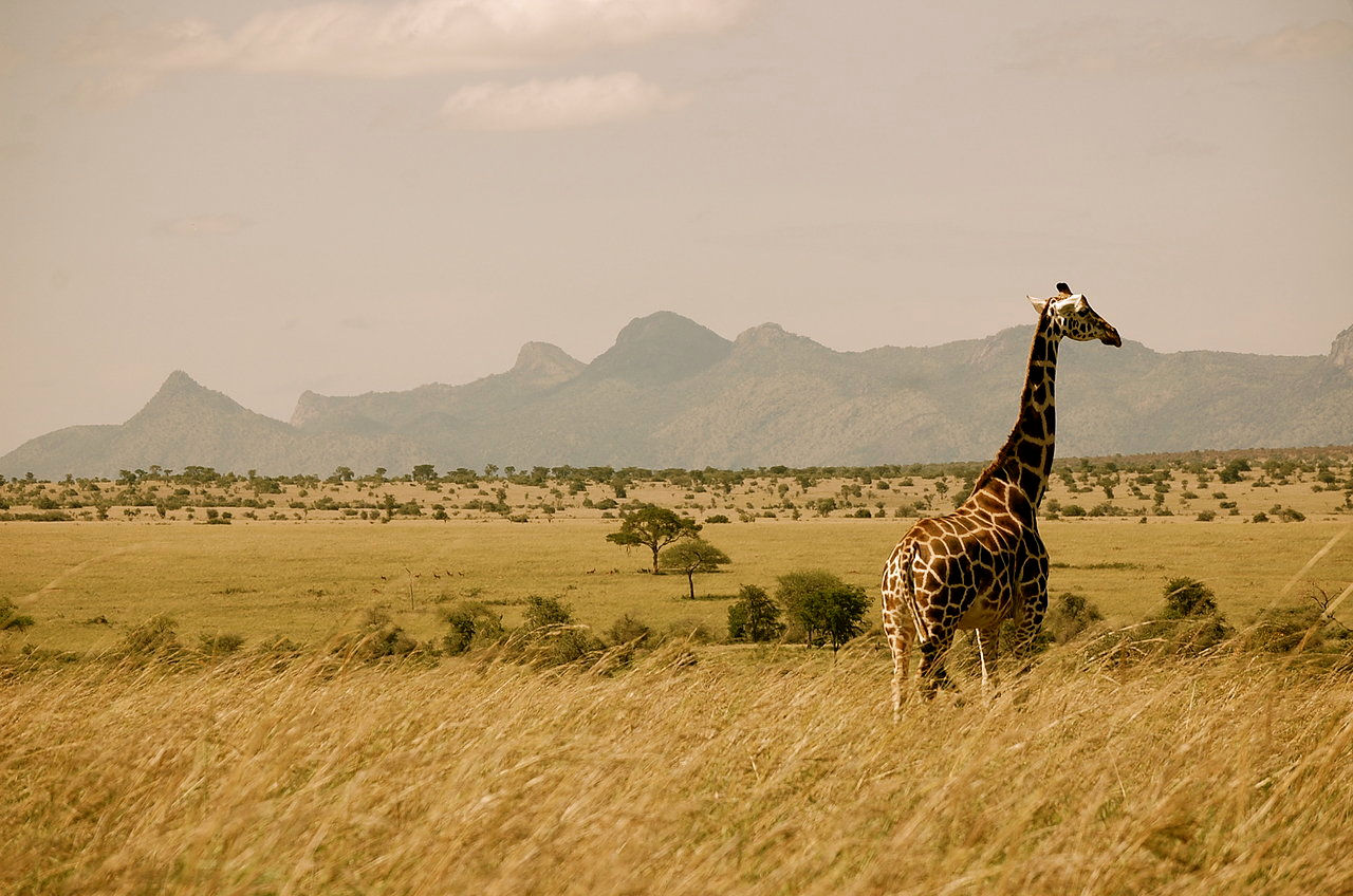 uganda-giraffe.jpg