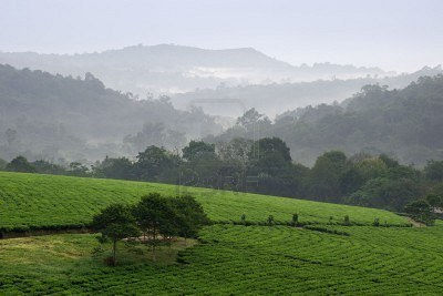gray-morning-fog-over-tea-plantations-bwindi-uganda--africa.jpg
