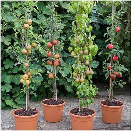Plantando Frutas em Vasos