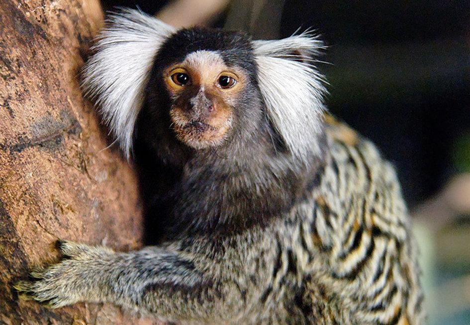 Common marmoset monkey