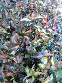 Trachelospermum asiaticum Summer Sunset -