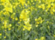 dwarf-essex-rapeseed-crop-advance-cover-