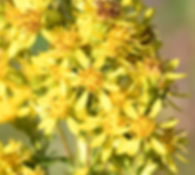 yellow-sweet-clover-seeds-by-10g.jpg