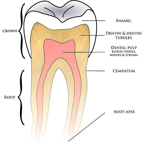 1200px-Basic_anatomy_tooth.jpg