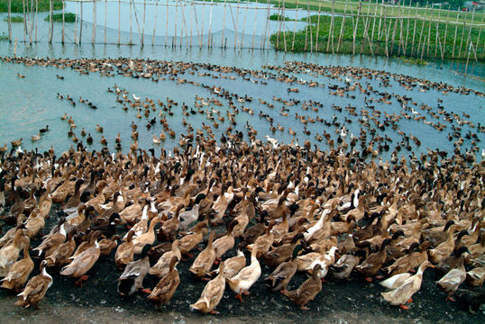 rice duck farming feasibility study Agricultural economy includes the production of healthy foods of which the  government gave emphasis  rice-duck farming feasibility study.