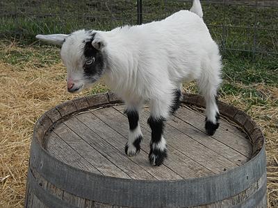 R Goats Good Pets Pet Nigerian Dw...