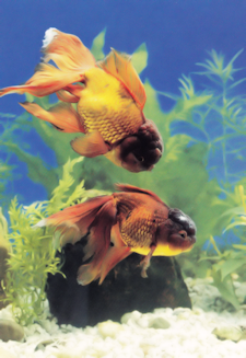 how to make your own fish food for goldfish