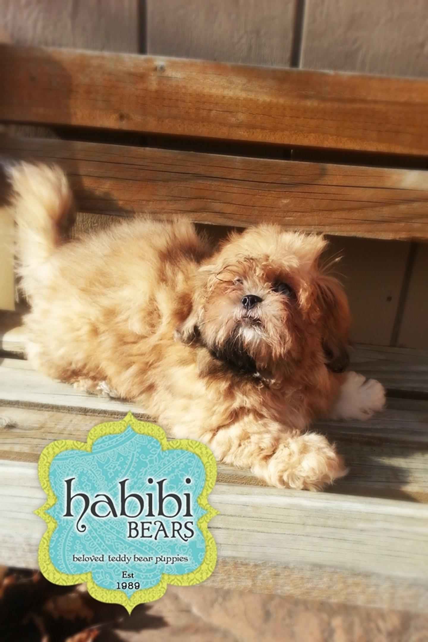 Habibi Bear Dog Breed