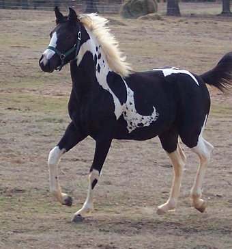 2009 colt by Flying Storm Kite