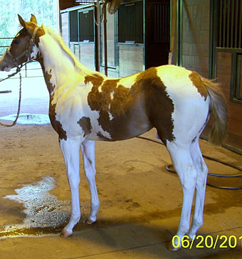 2011 filly by Flying Storm Kite