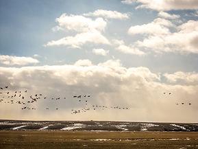 CAS_025 pikanii res geese.jpg