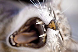 geeuwende kat