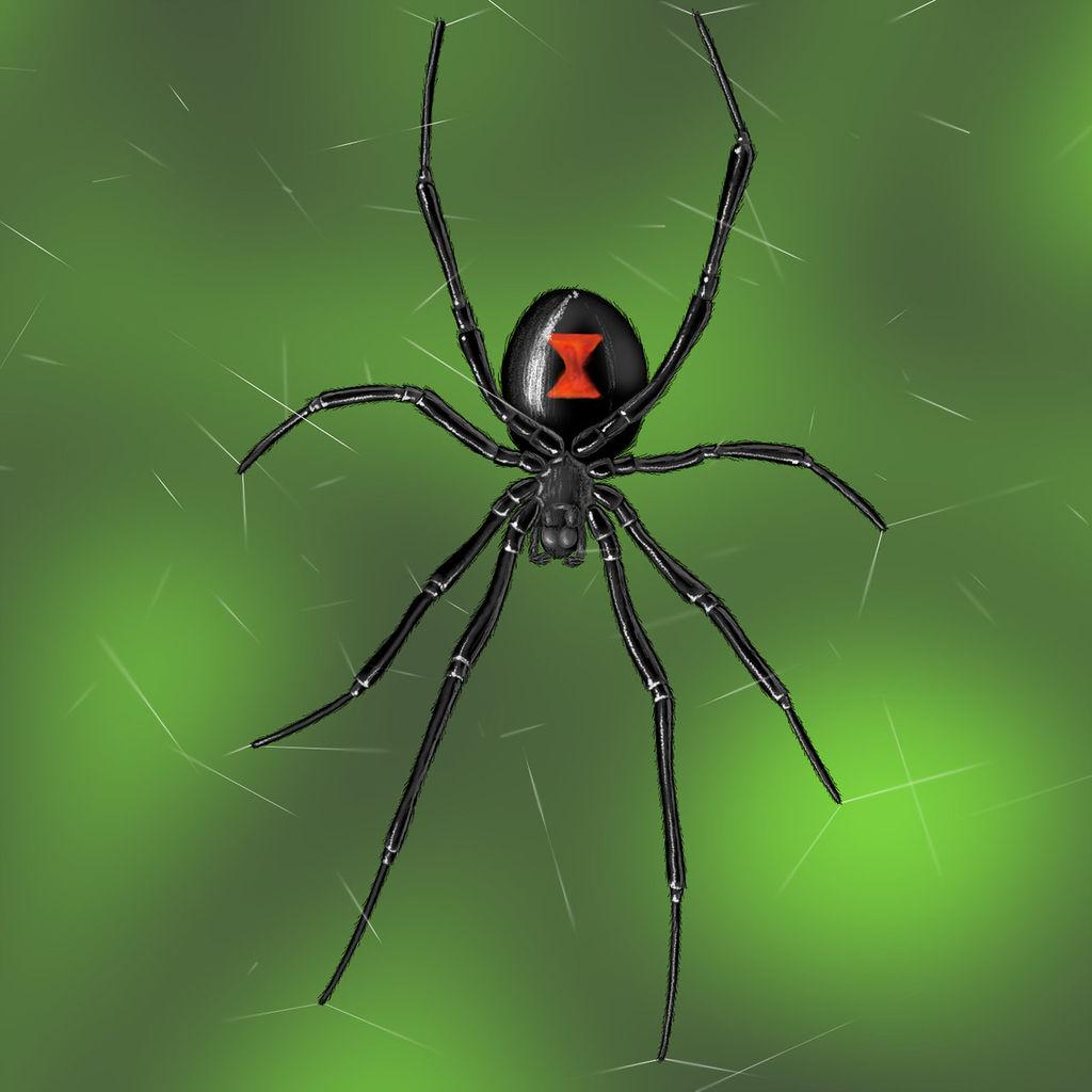 Black widow spider anatomy