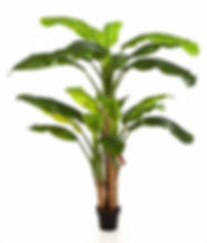 banana plant.jpg