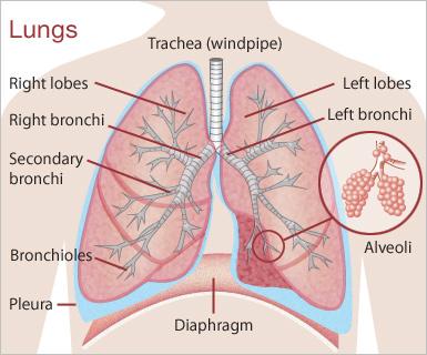 Q3 Unit 3 Research Of The Human Lungs Visualartseportfolio