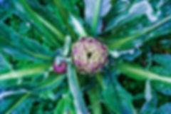 artichokes, paestum, italy