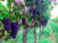 Italian grapes on a vineyard in Montefalco, Italy