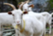 Goat from Håøya Naturverksted, Oslo, Norway