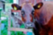 Cow, Sweden